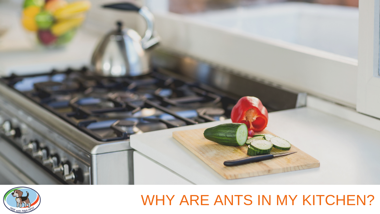 Why Are Ants in My Kitchen?